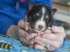 Male, #3 week 3, Drumlin puppy.