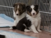 20150215-Drumlin_Shelties-0011