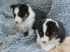 20150215-Drumlin_Shelties-0014