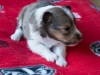 Female #1 Drumlin Puppy, 2 weeks and 2 days