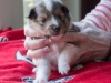 Drumlin Puppy Female 3 weeks